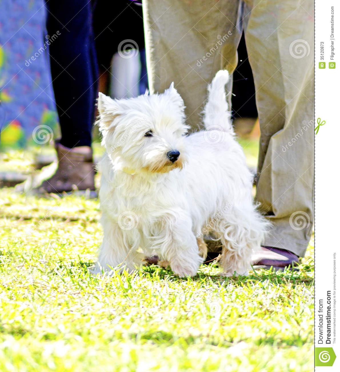 Small And Beautiful Bathrooms: West Highland White Terrier Stock Photos