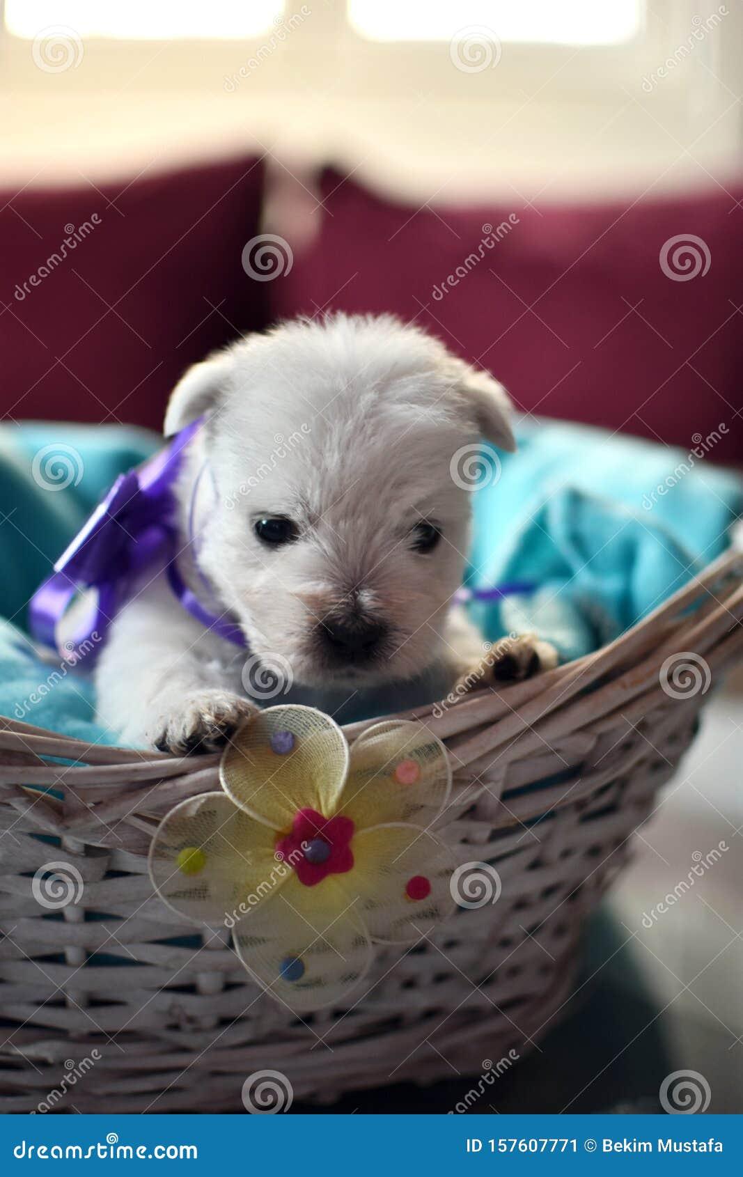 West Highland White Terrier Westie Puppies Stock Image Image Of Westie West 157607771
