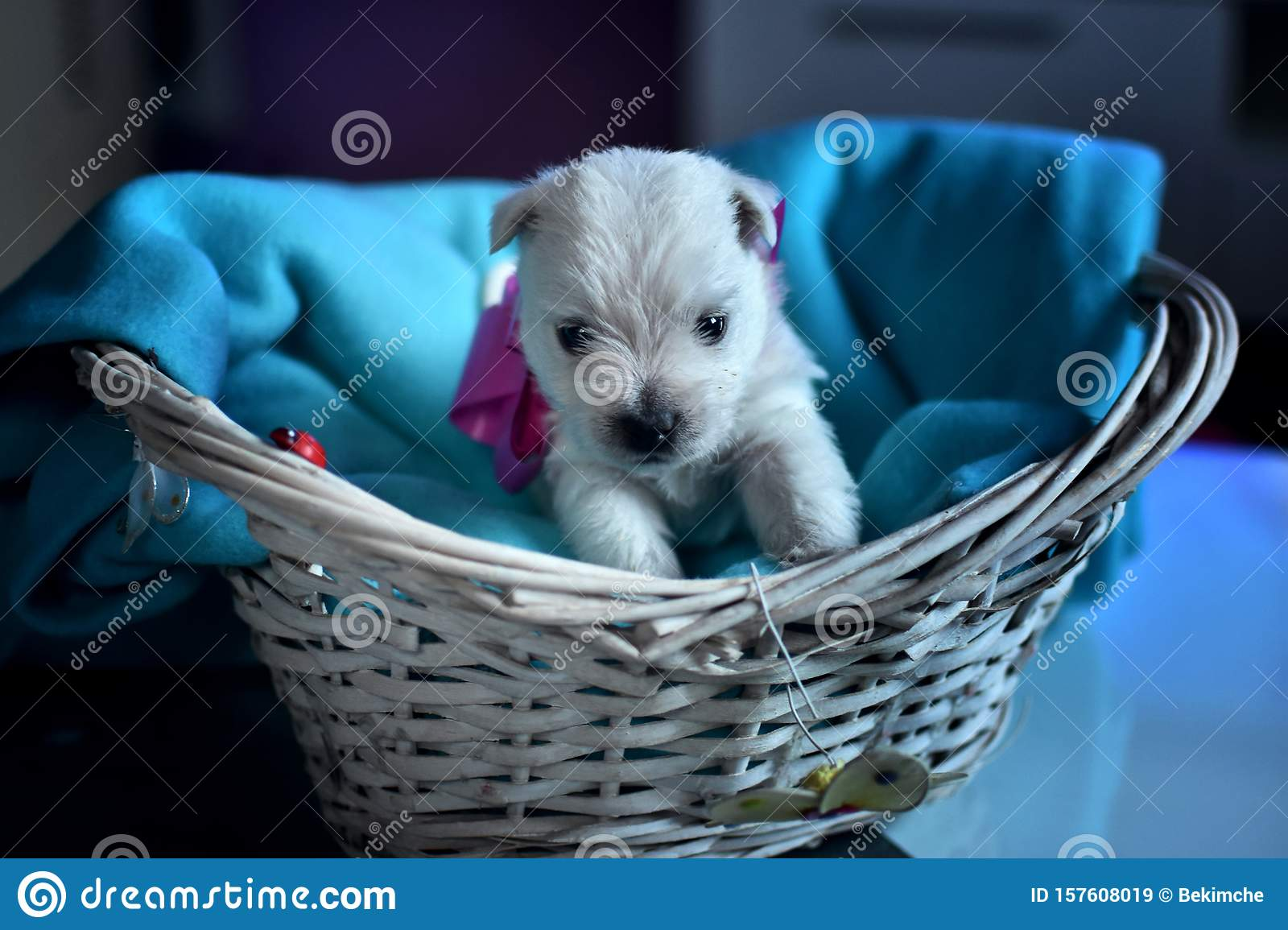 West Highland White Terrier Westie Puppies Stock Image Image Of Puppy Terrier 157608019