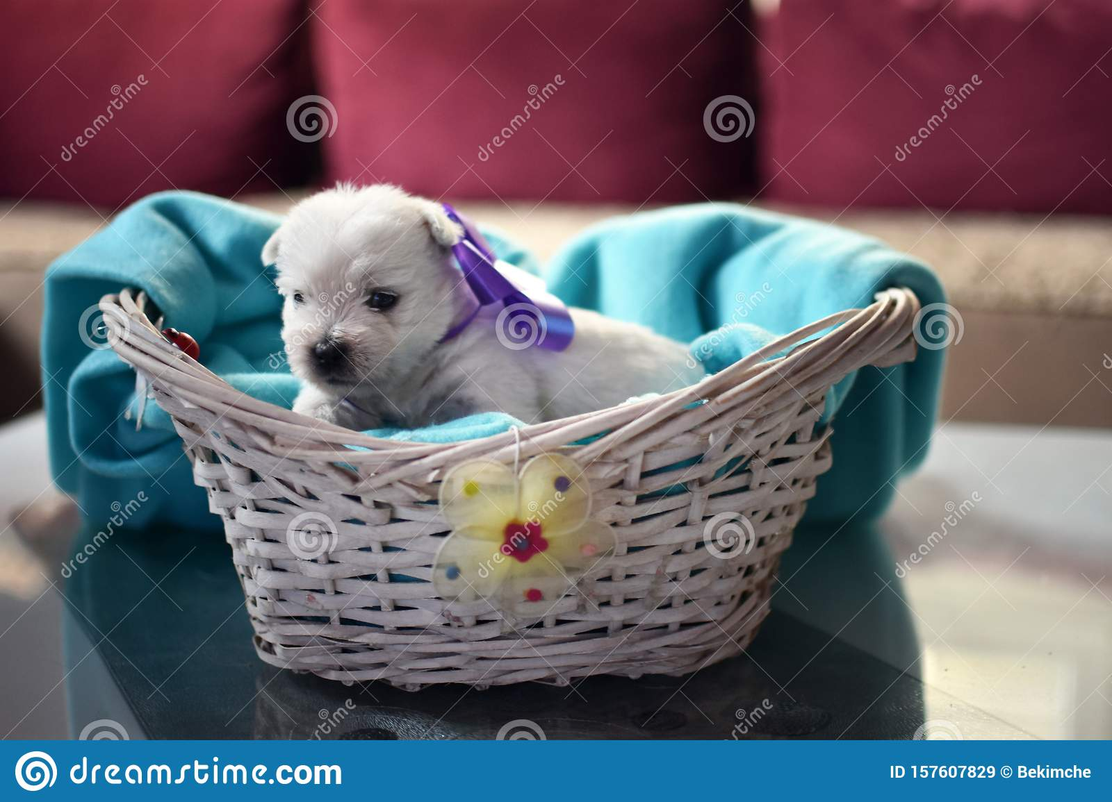 West Highland White Terrier Westie Puppies Stock Image Image Of Puppies Puppy 157607829