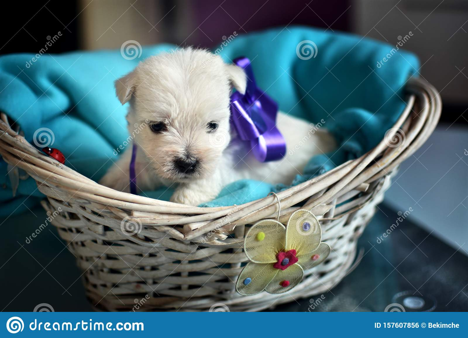 West Highland White Terrier Westie Puppies Stock Photo Image Of Puppy Front 157607856