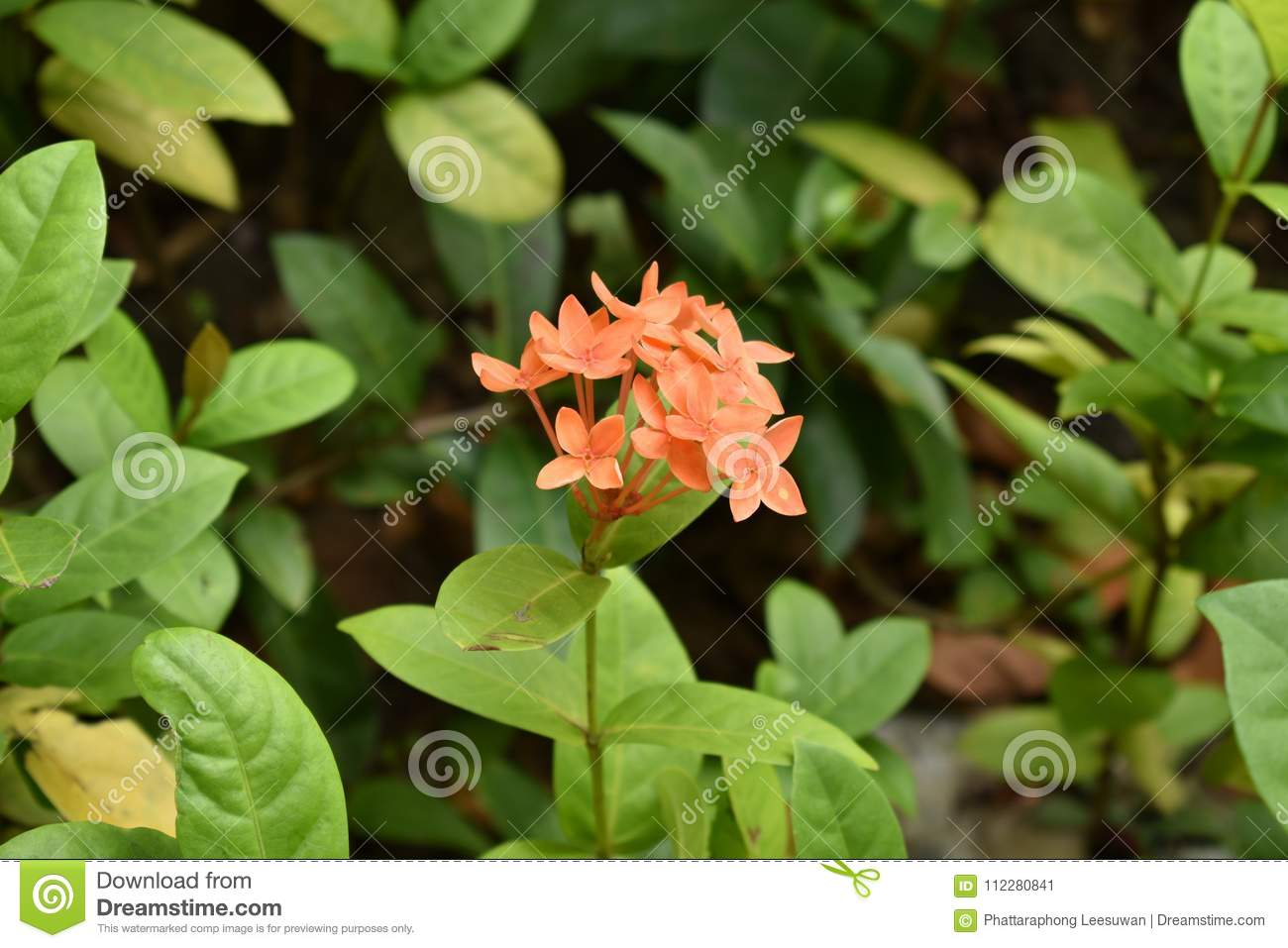 Flower stock image image of flower west jasmine nature 112280841 flower izmirmasajfo