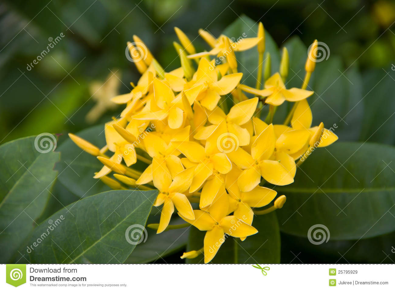 West indian jasmine flower stock image image of beautiful 25795929 west indian jasmine flower izmirmasajfo