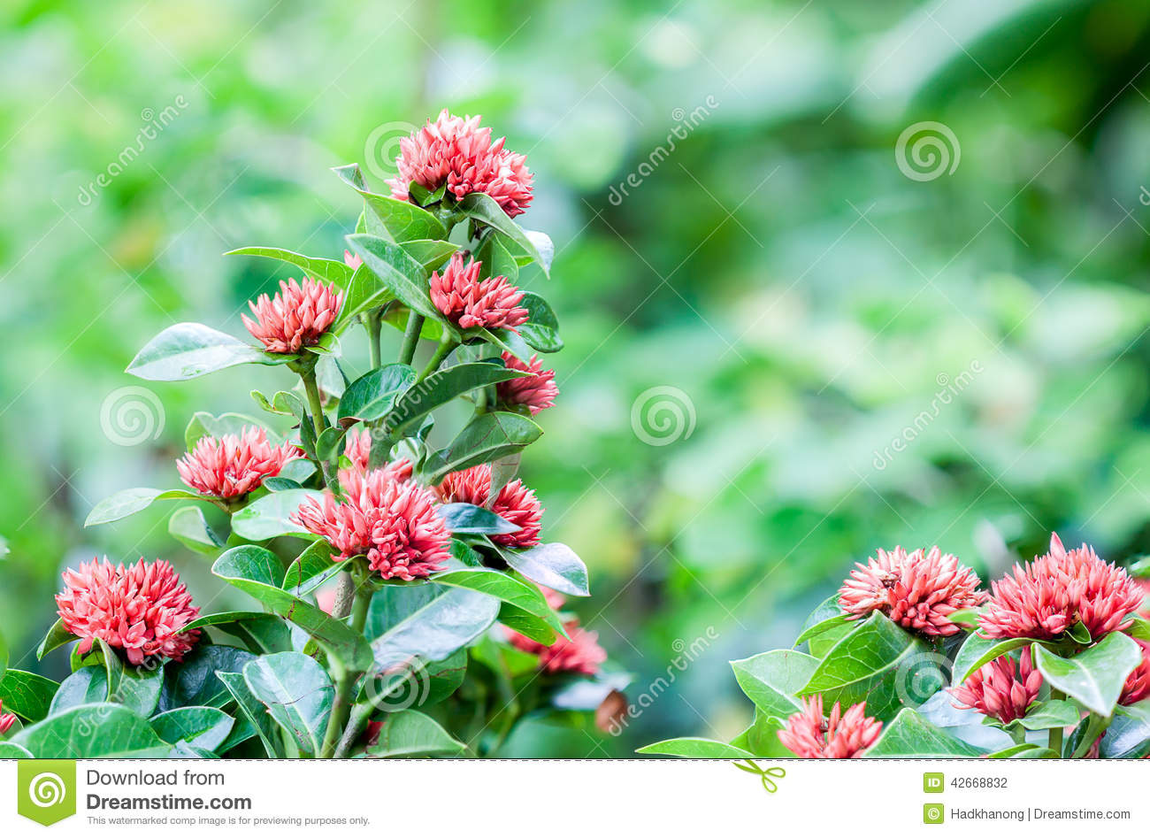 West indian jasmine flower stock photo image of nature 42668832 download west indian jasmine flower stock photo image of nature 42668832 izmirmasajfo