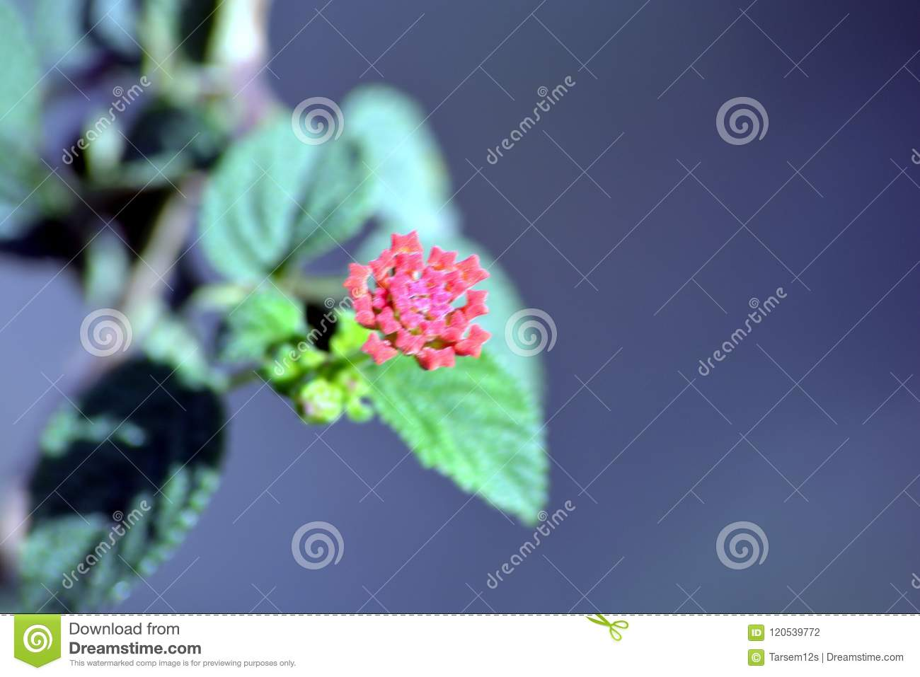 West Indian Lantana With Flower Stock Photo Image Of Endothermic