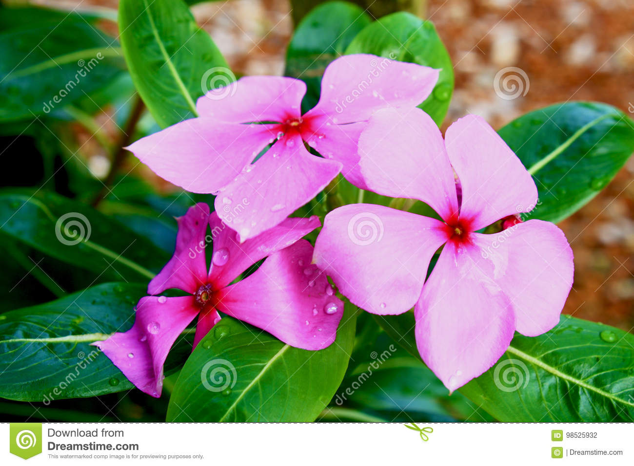 West Indian Periwinkle Stock Photo Image Of Roseus Floral 98525932