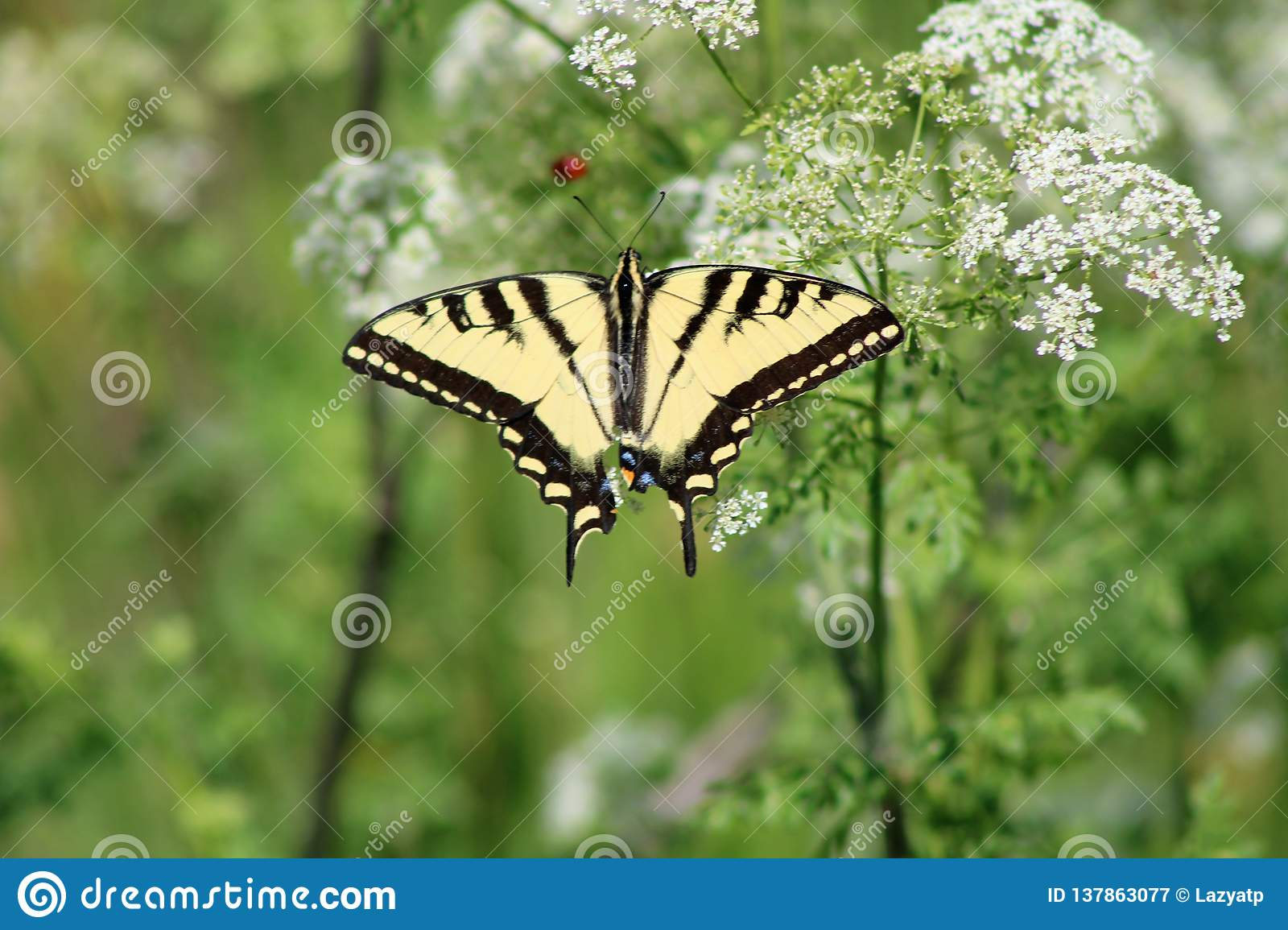 West-Tiger Swallowtail Butterly