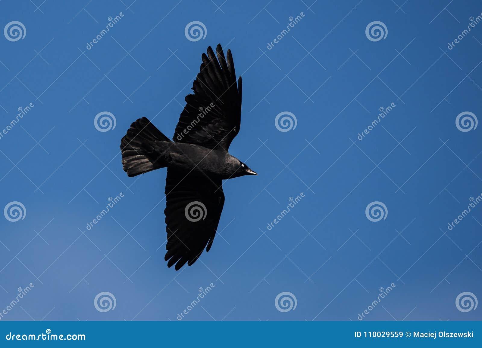 Westelijke Kauw, Corvus-monedula