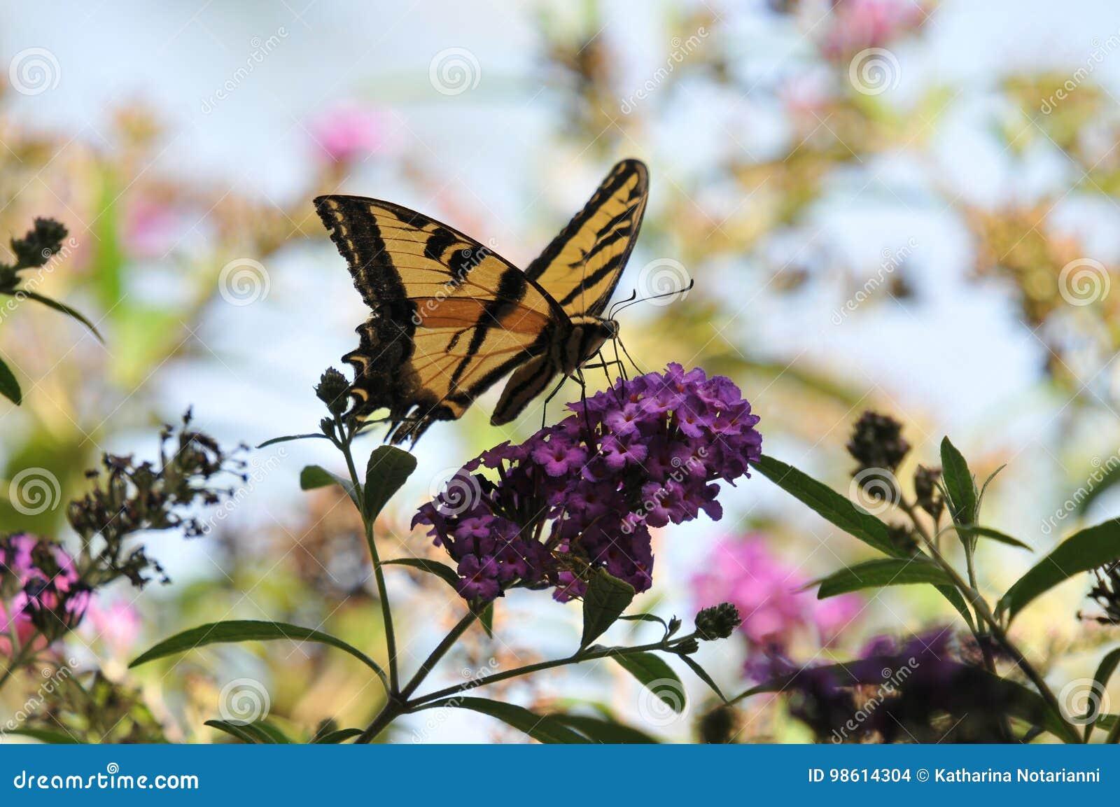 Westelijke Tiger Swallowtail Papilio-rutulusvlinder op Vlinder Bush