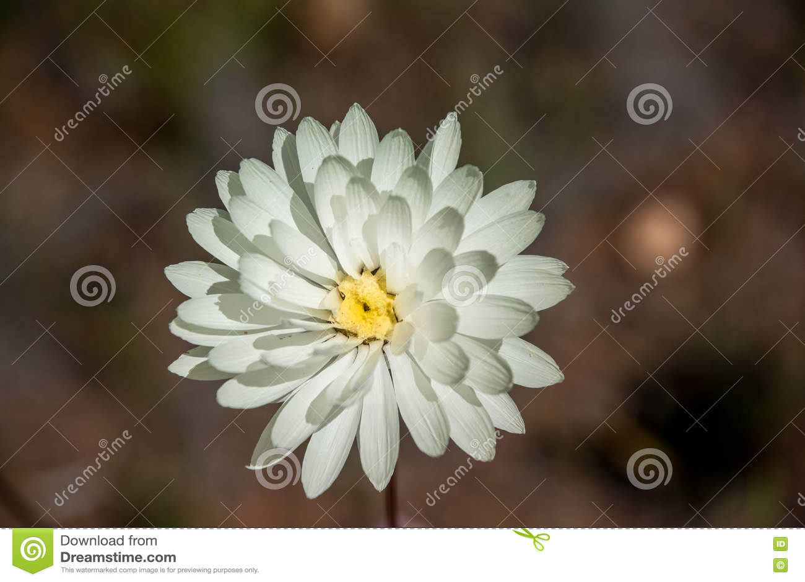 Western Australia Native Wildflower Single White Everlasting Daisy