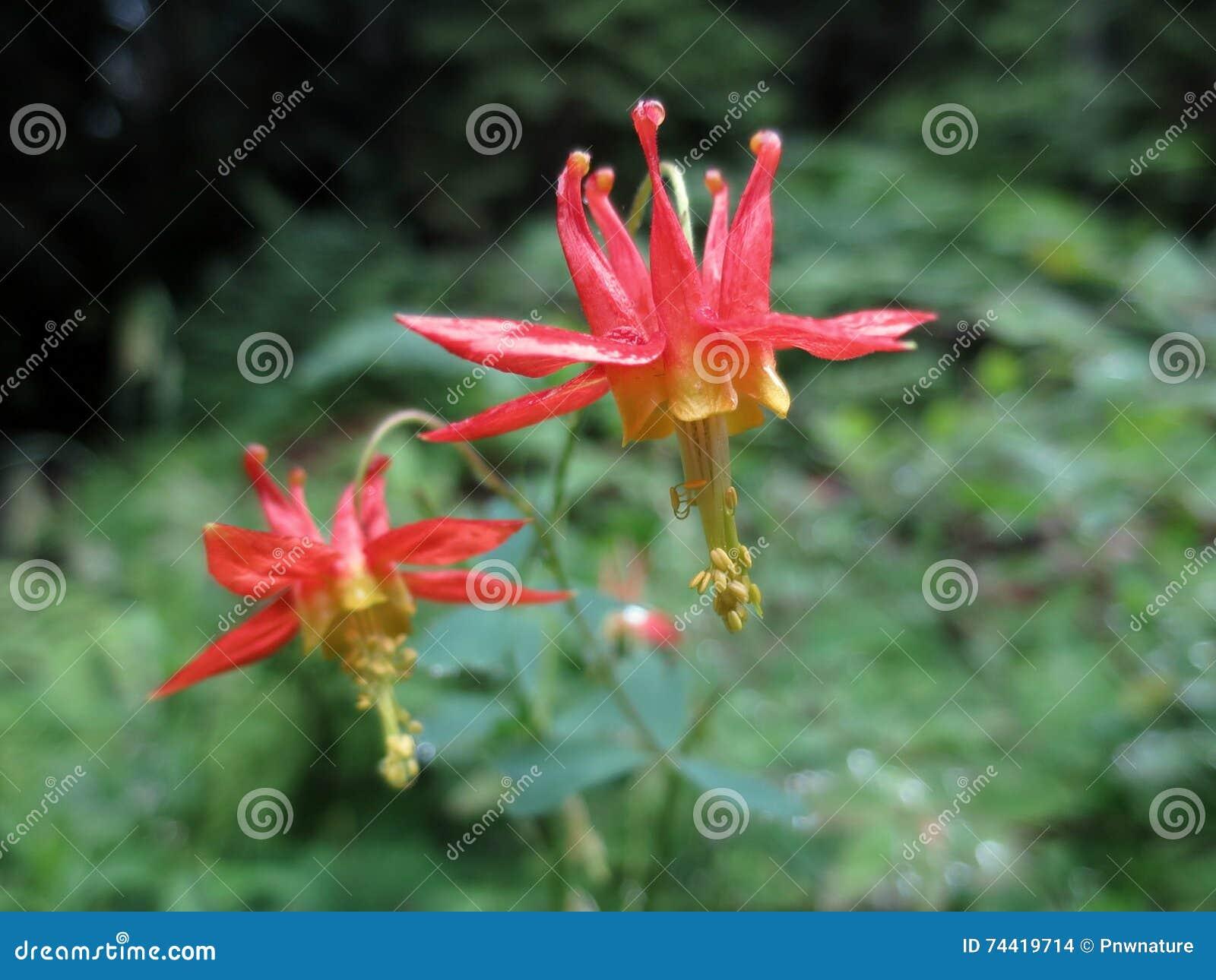 Western Columbine Aquilegia Formosa Stock Photo Image Of Crimson
