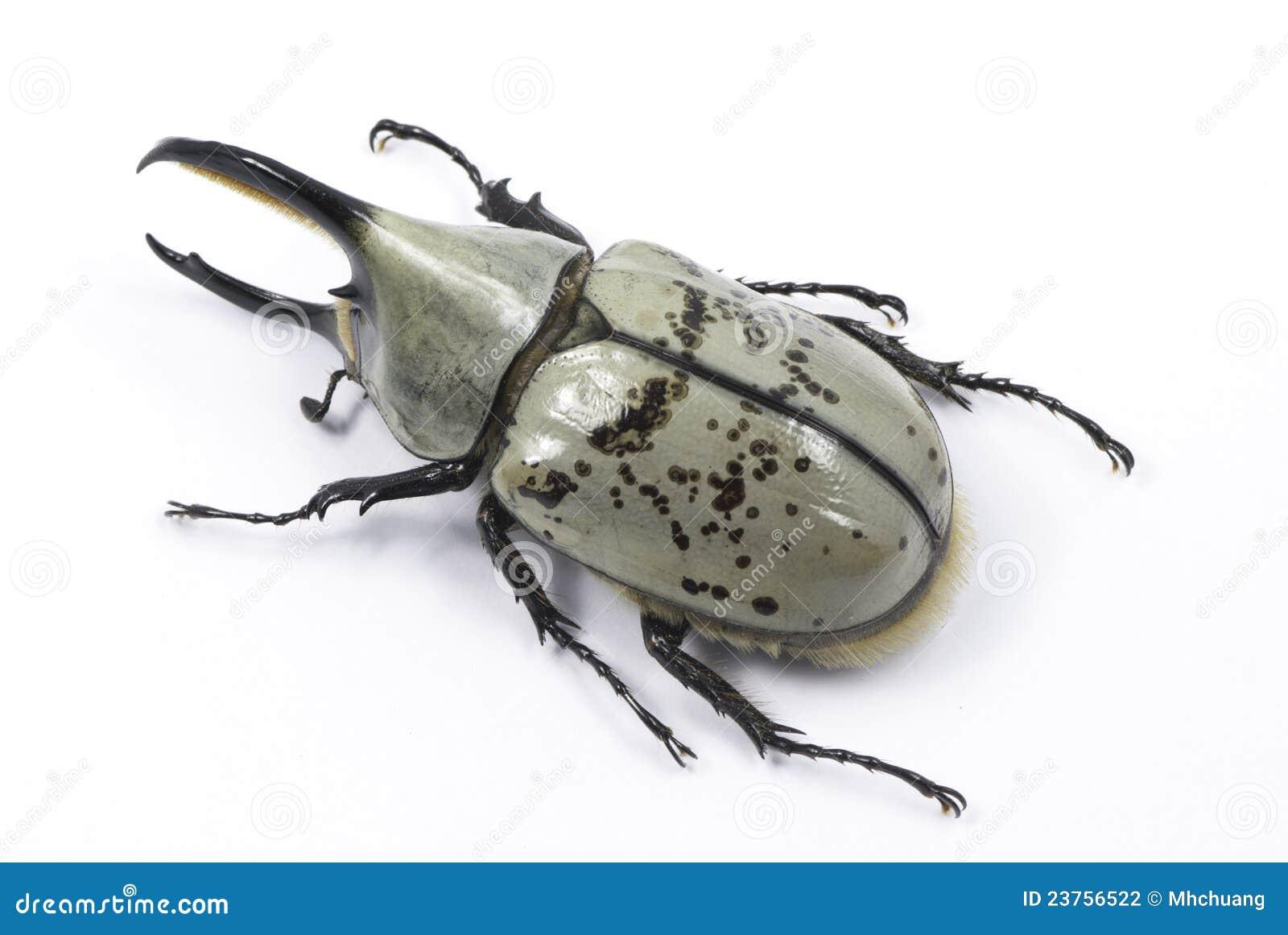 Hercules beetle top view