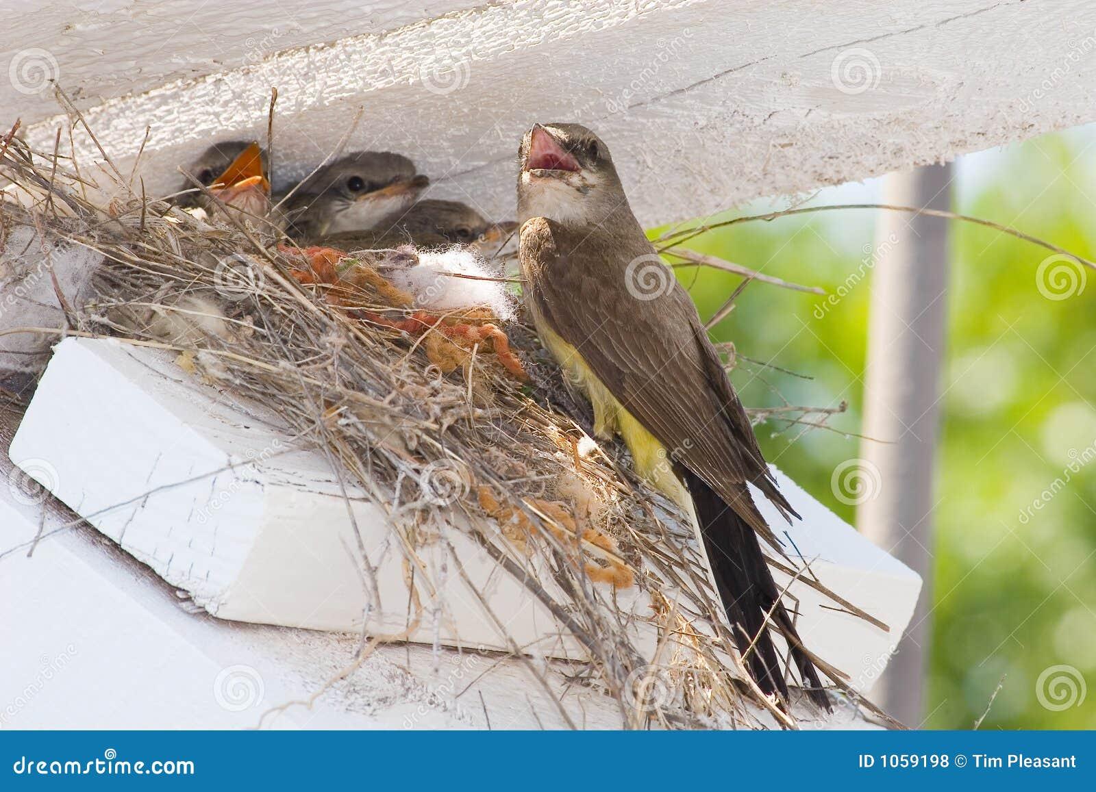 Kingbird baby