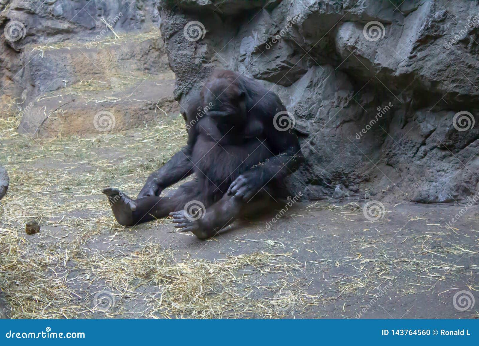 Western Lowland Gorilla checking her knee