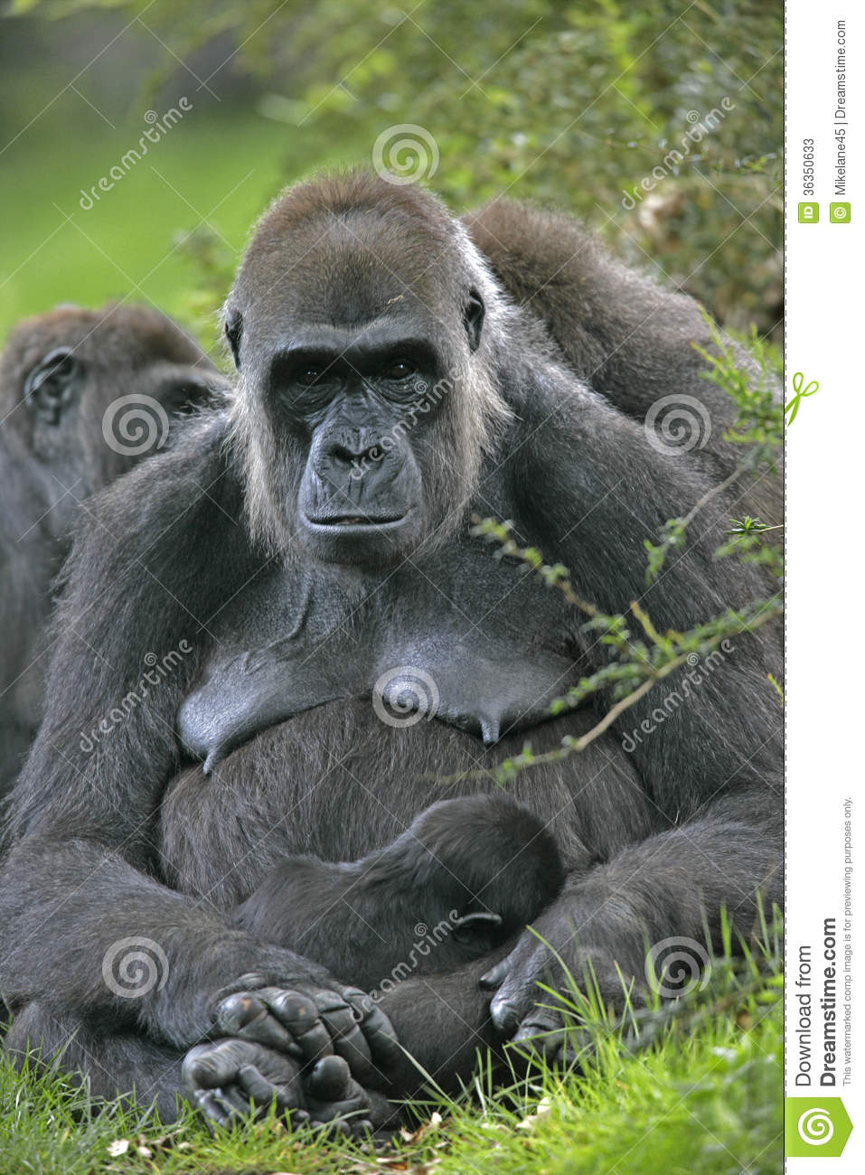 population issues report western lowland gorilla Gorillas seem to be extremely sensitive to environmental conditions, and a  discussion of  the feeding of zoo animals frequently is a problem (thompson , 1984)  to a more naturalistic zoo enclosure on the behaviour of western  lowland gorillas  this article originally appeared in primate report 32, 167- 183, 1992.
