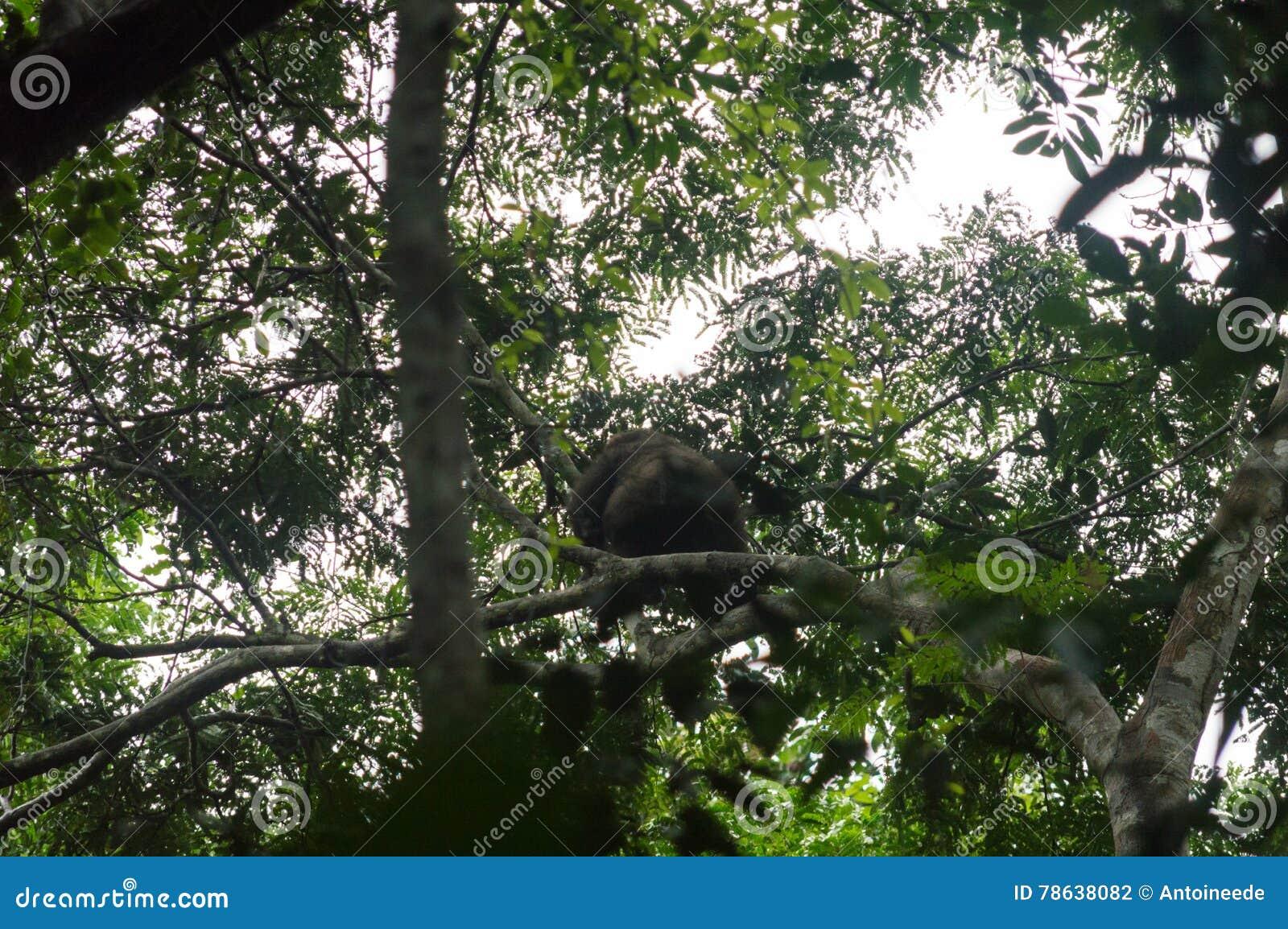 Western lowland gorilla on a tree, western african rainforest, Conkouati-Douli national park, Congo.