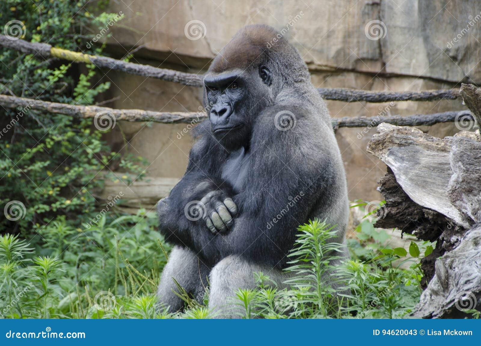 Western Lowland Gorilla in Zoo