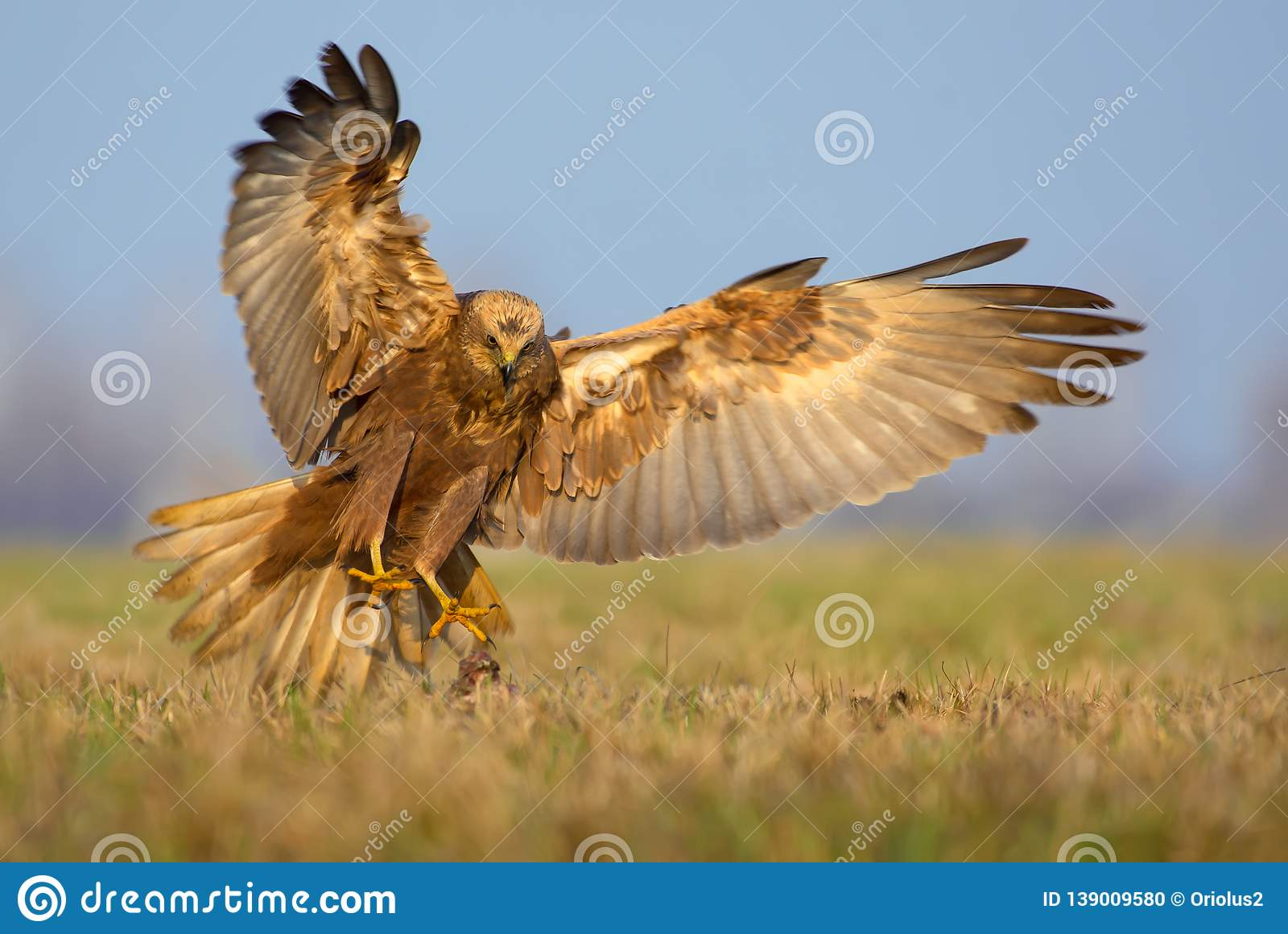 Western Marsh Harrier attack in very fast motion flight with spreaded talons, tail and wings