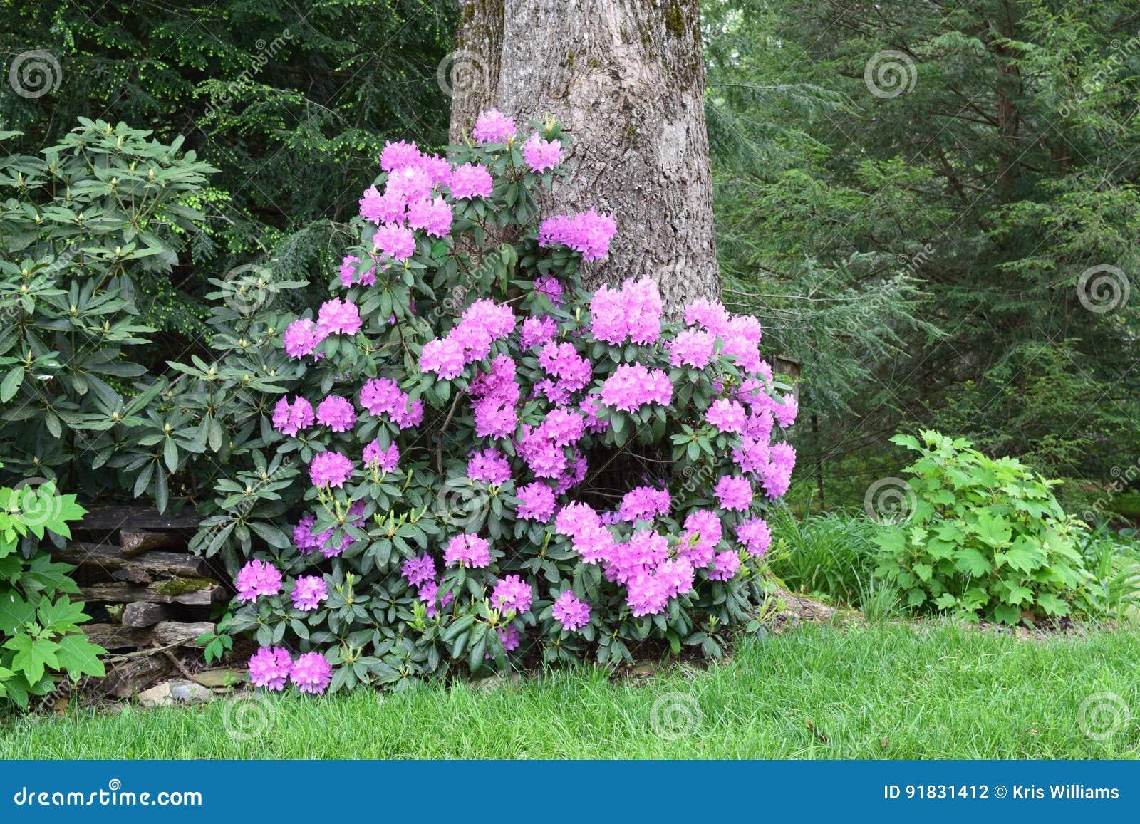 Western NC pink laurel