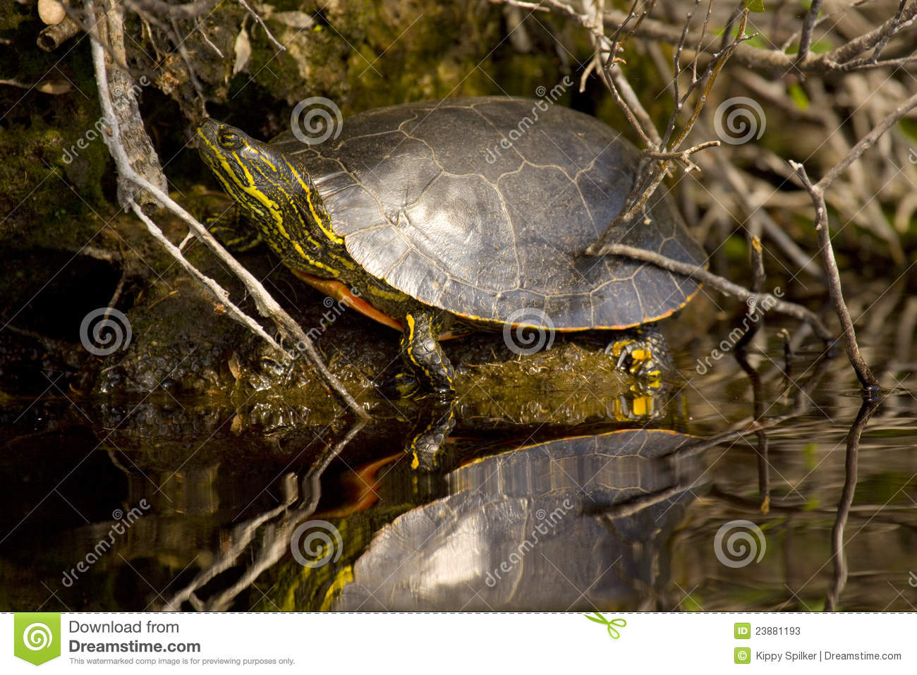 Download Western Painted Turtle stock image. Image of river, painted - 23881193