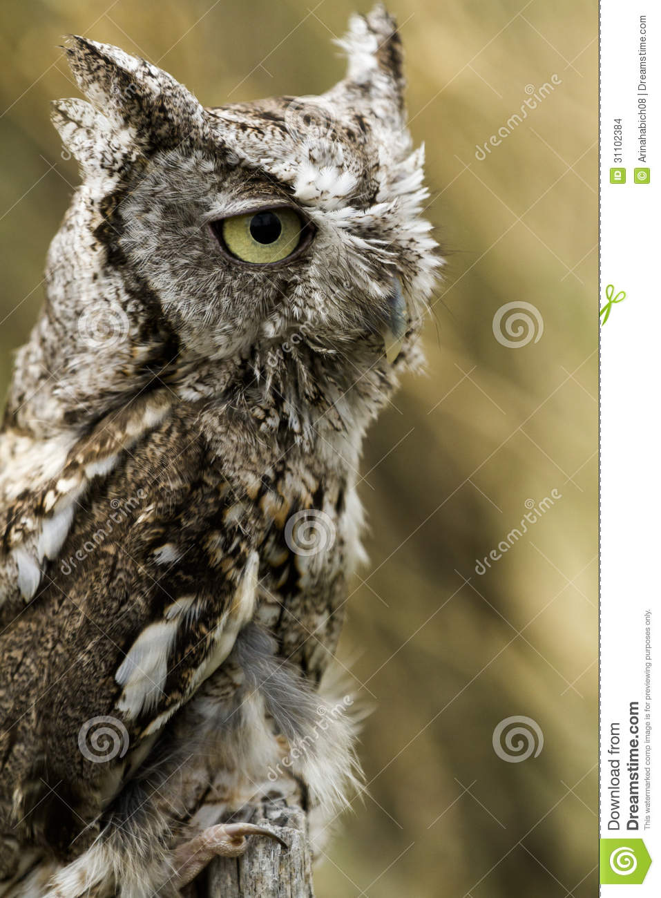 Western screech owl stock images image 31102384