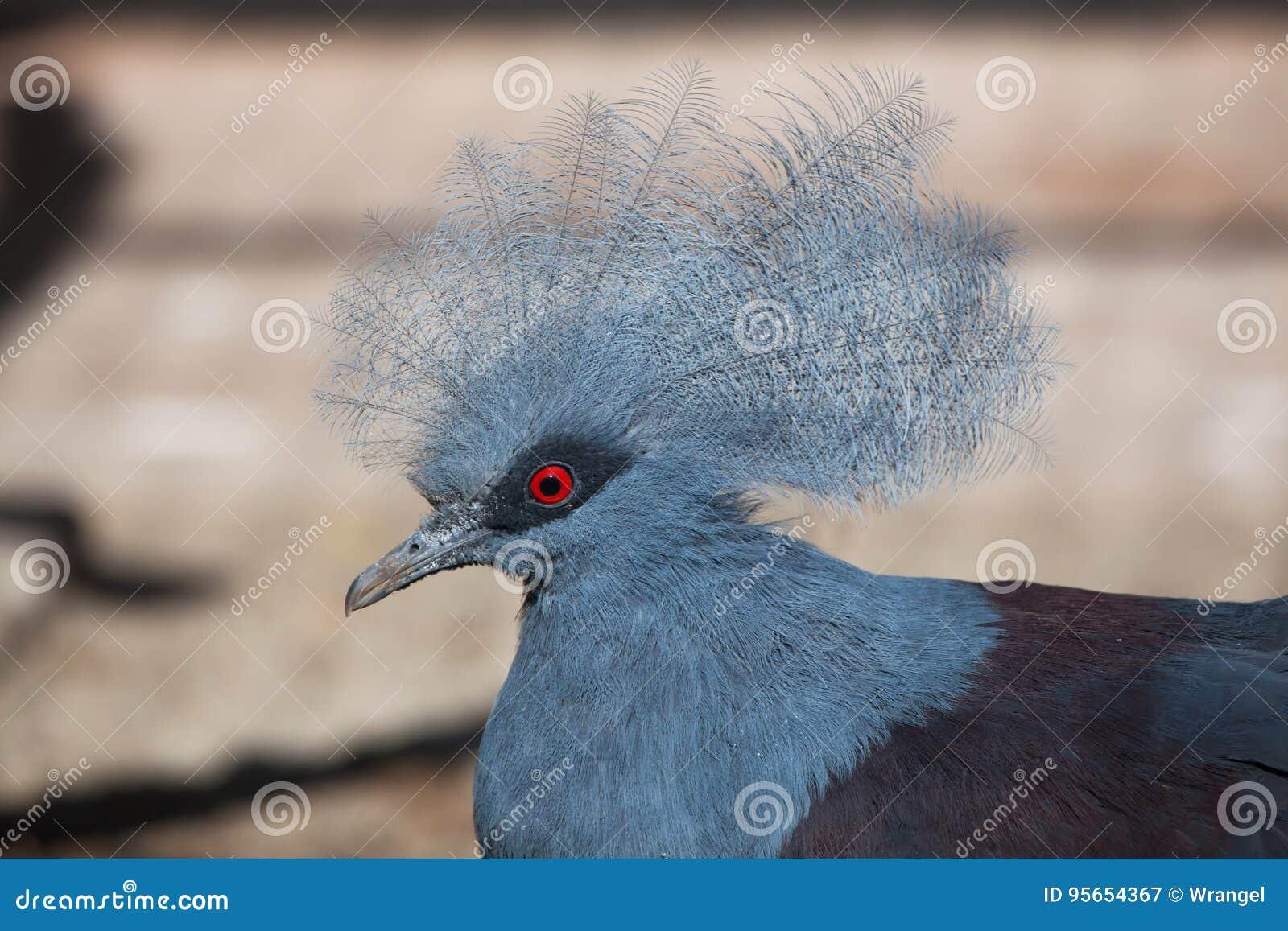 Westernu Goura koronowany gołębi cristata