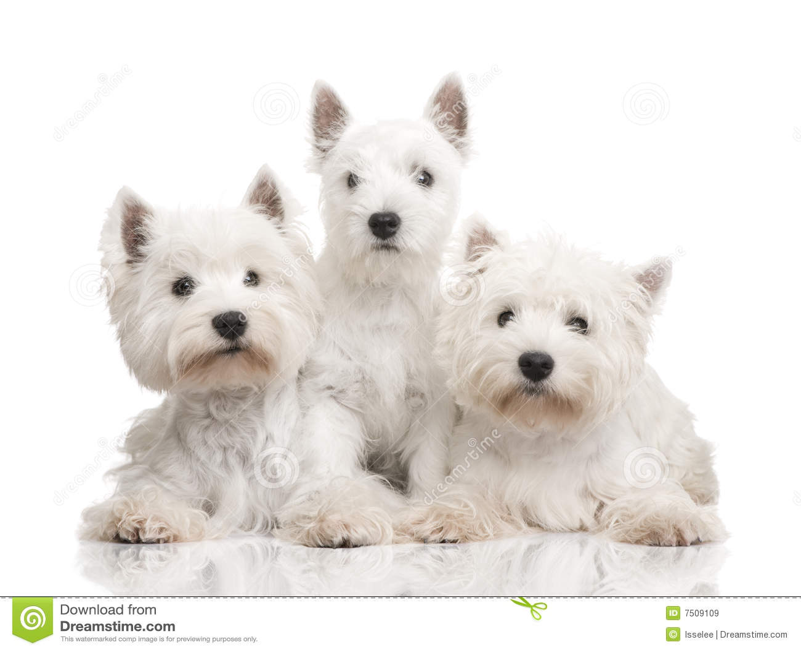 Westhochland-weißer Terrier in einer Reihe