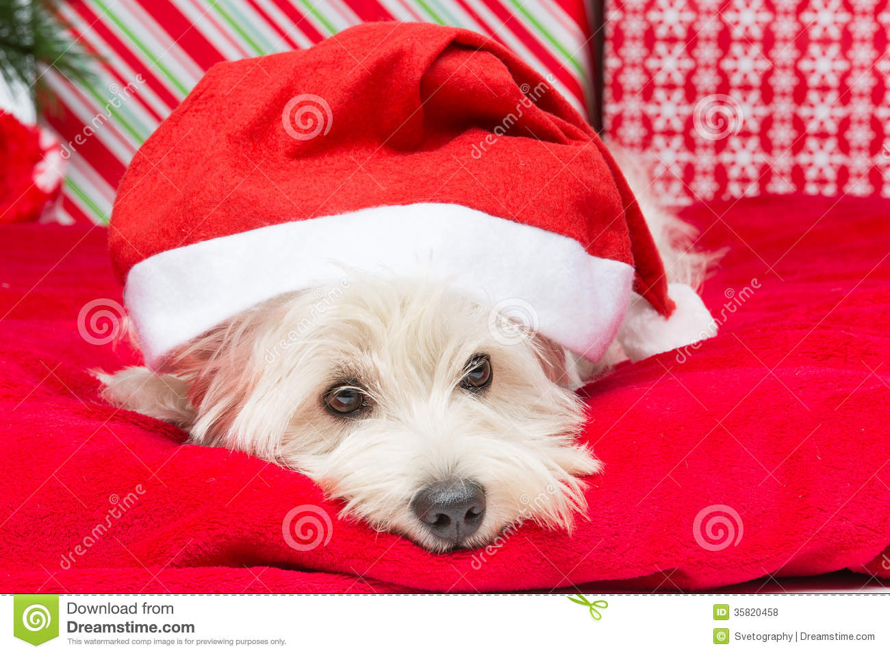 Westie in christmas hat stock photo. Image of funny, cover - 35820458