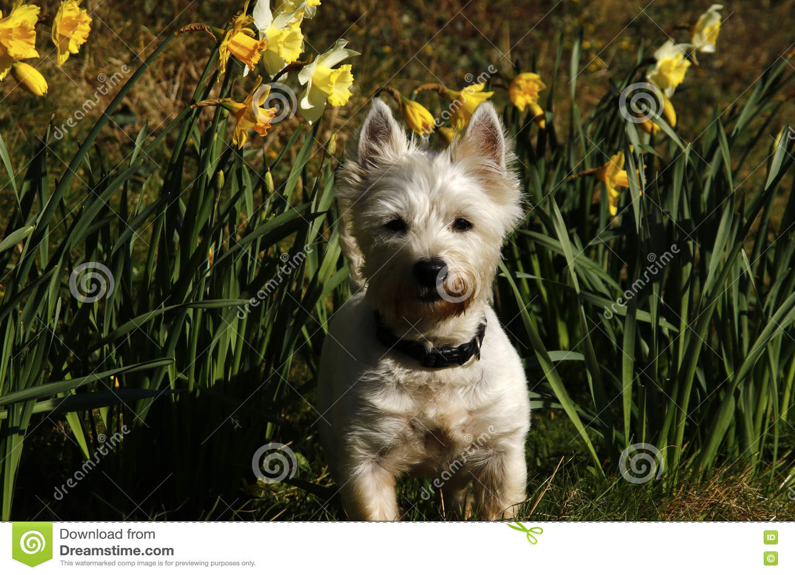 Download Westie в daffodils стоковое изображение. изображение насчитывающей мило - 72287433