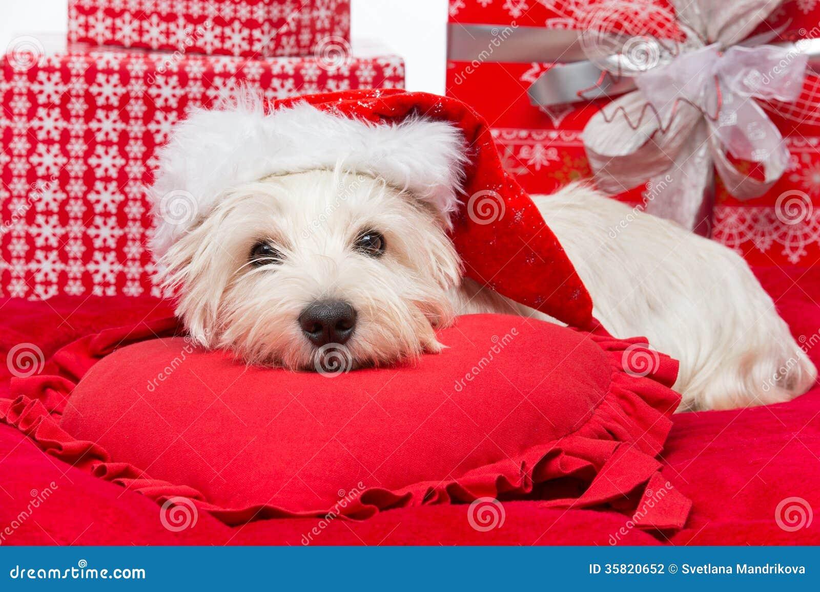 Westie Dans Le Chapeau De Noël Photo stock - Image du terrier ...