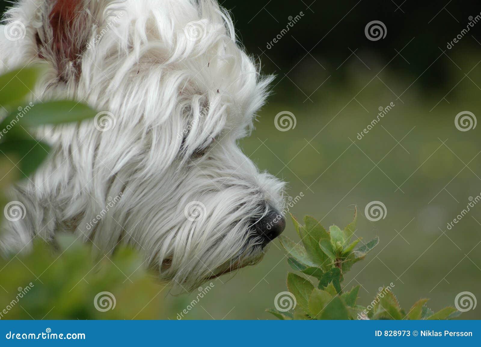 Westie in nature