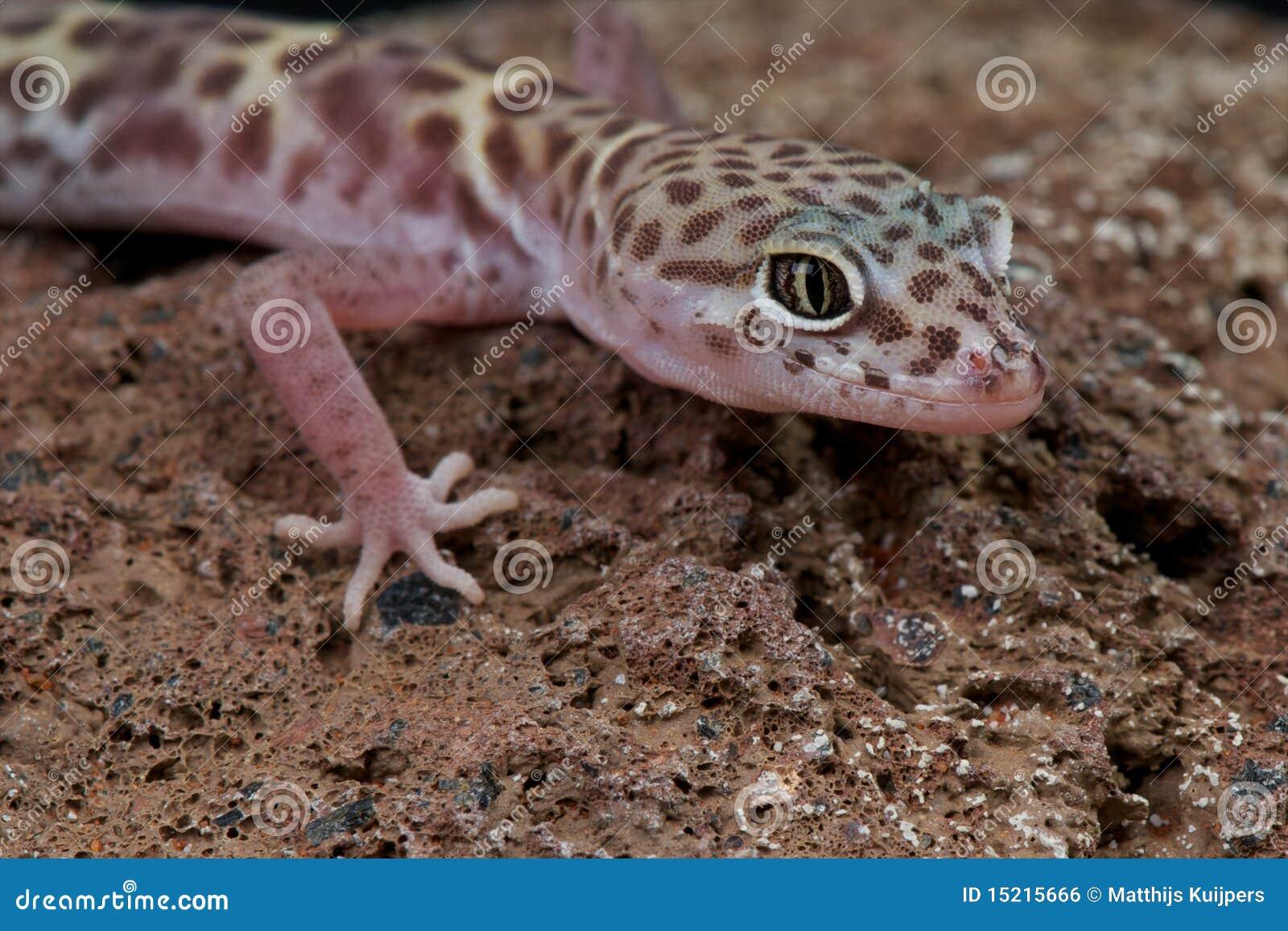 Westlicher mit einem Band versehener Gecko