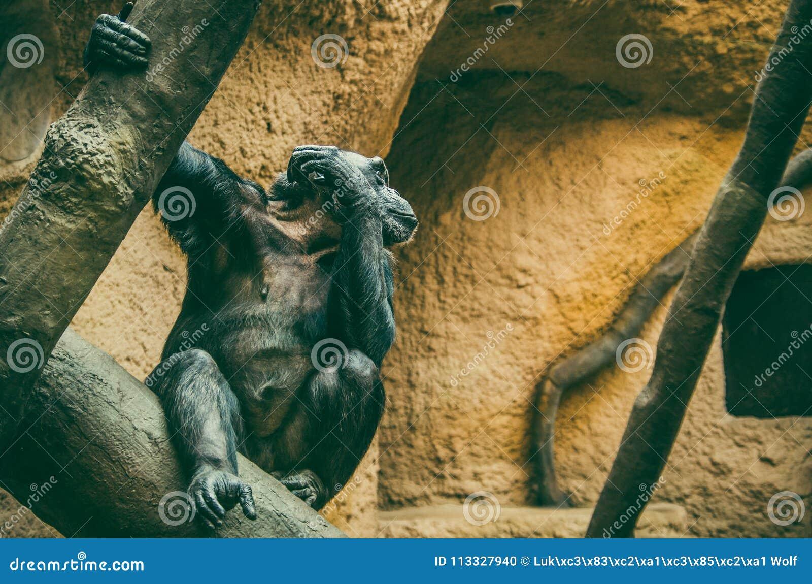 Westschimpanse Pan-Höhlenbewohner verus