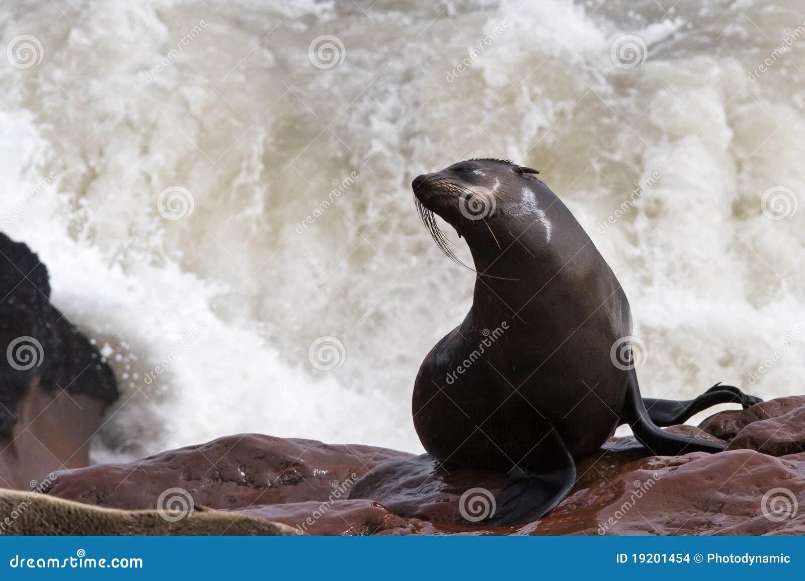Wet cape fur seal with a splash