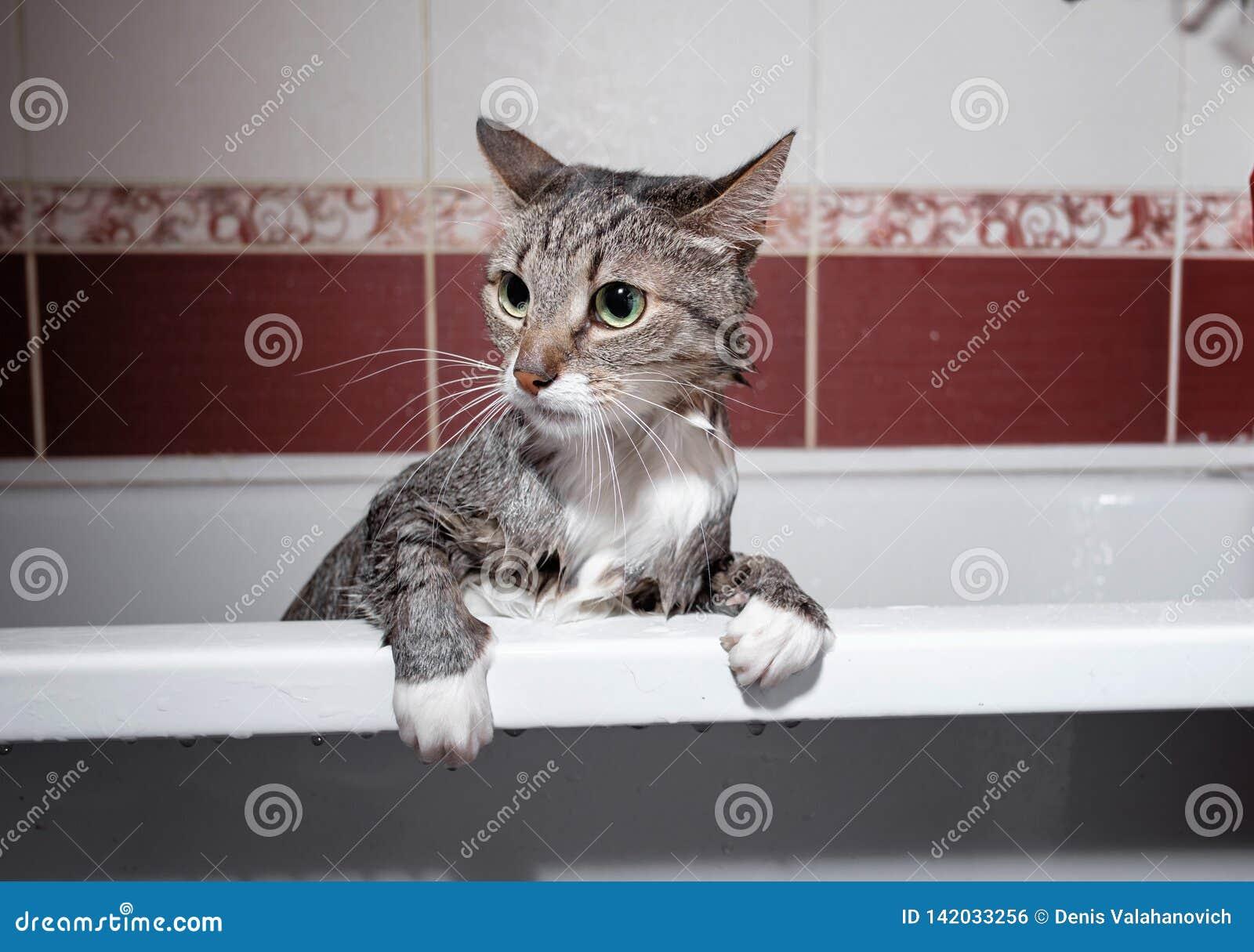 Wet Cat In Bathroom Stock Photo Image Of Humor Little 142033256