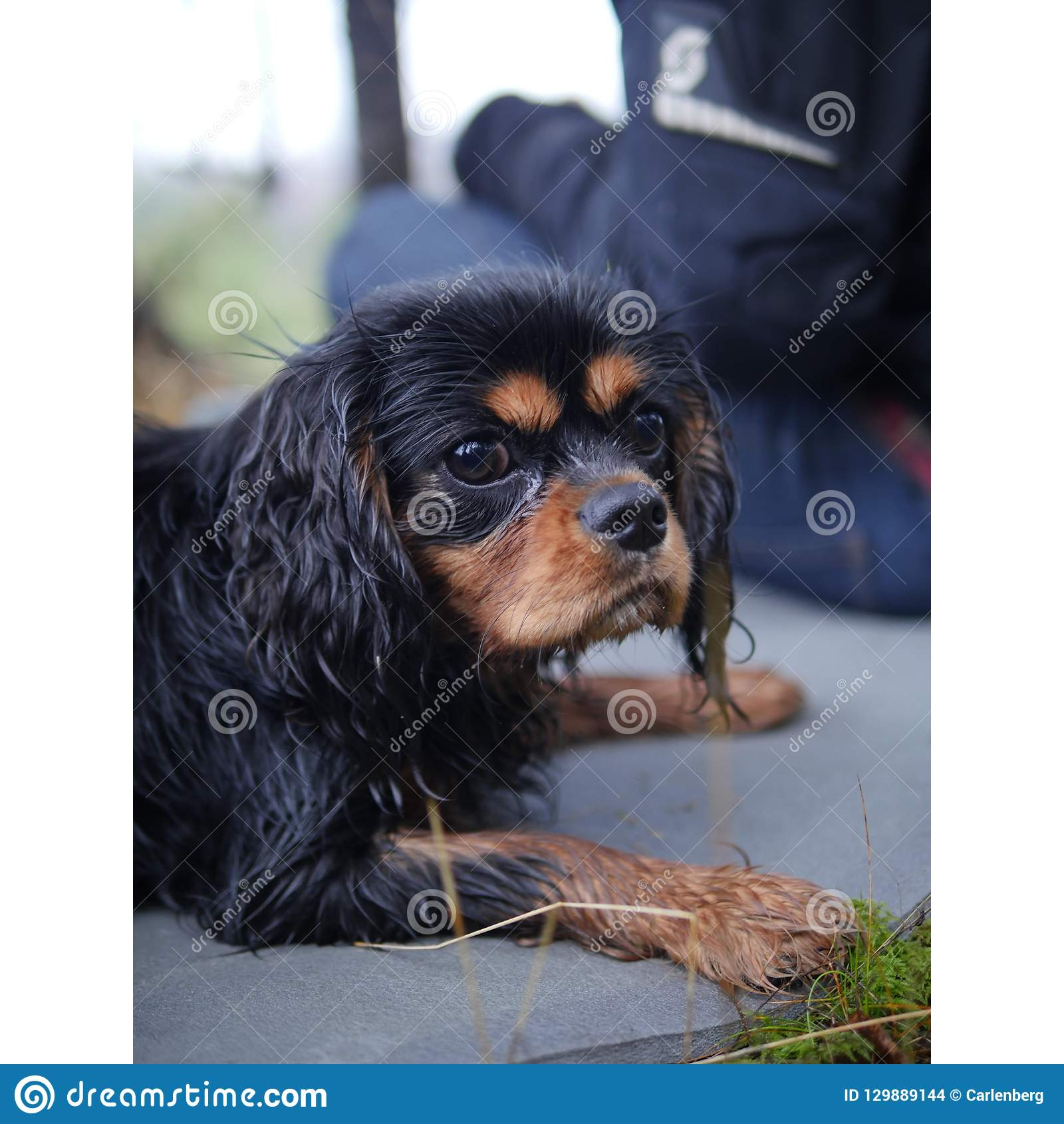 A wet cavalier king charles spaniel puppy in the forest