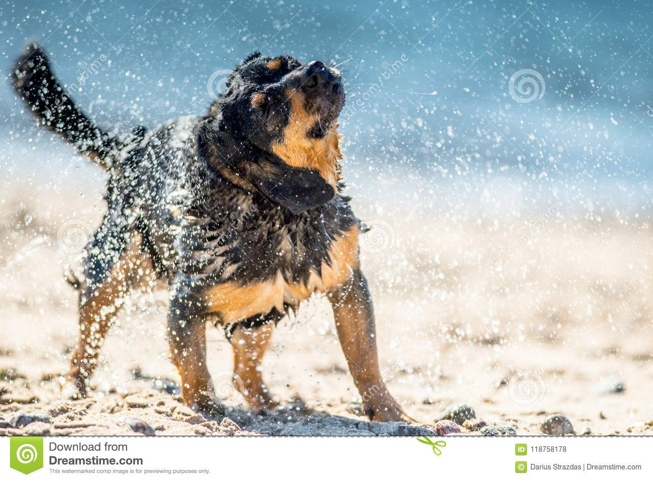 Wet Dog Shaking Stock Photo Image Of Coat Puppy Motion 118758178