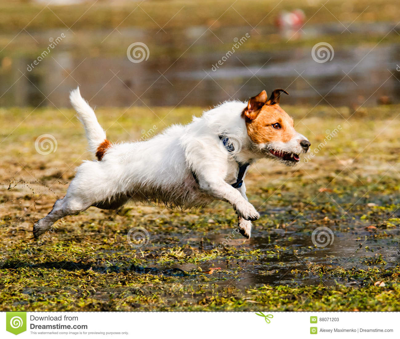 Wet, fluffy and dirty dog running through spring swamp