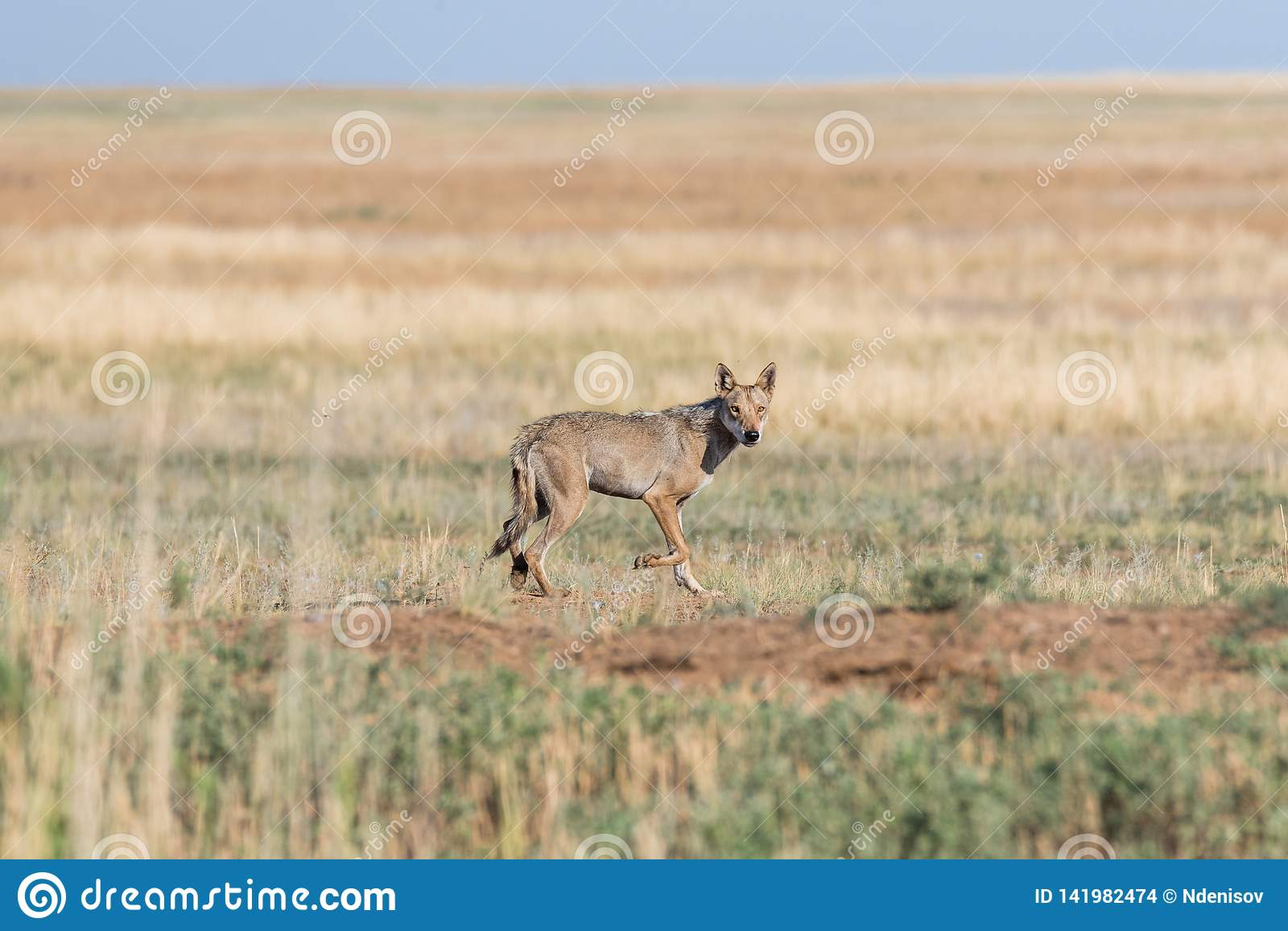 Wet Gray wolf Canis lupus runs across the field.