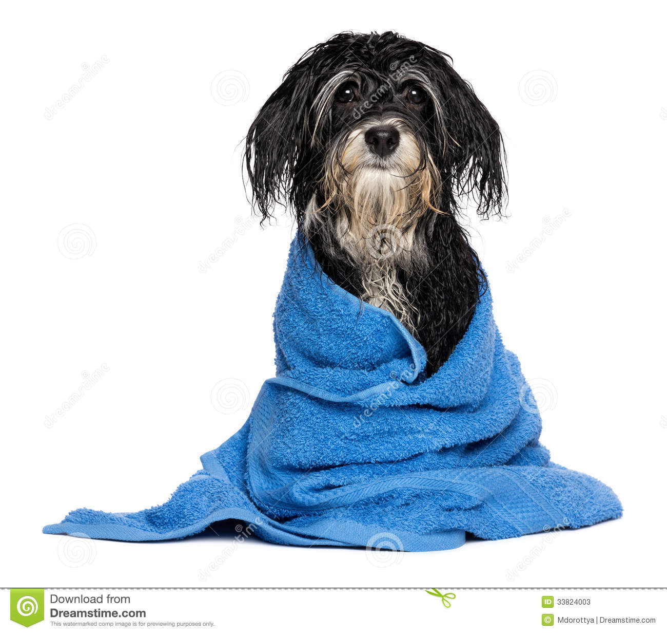 Wet Havanese Puppy Dog After Bath Is Dressed In A Blue ...