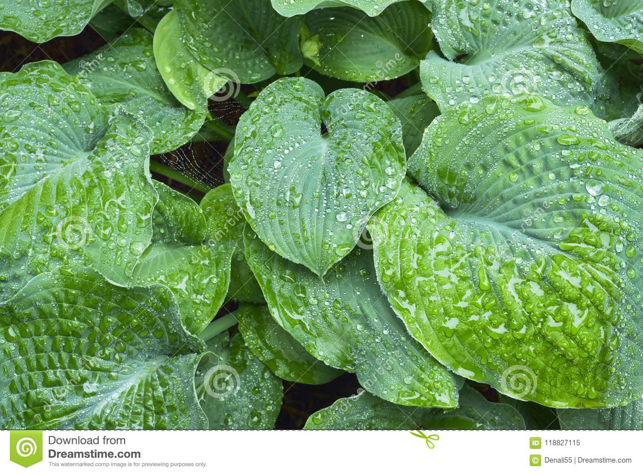 Wet Hosta Leafs Stock Image Image Of Crinkled Colorful 118827115
