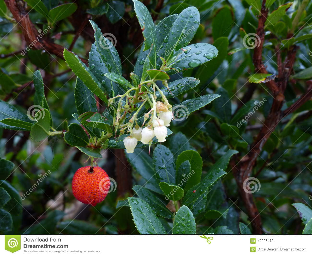 Wet leaves and one red berry stock photo image of water leaves royalty free stock photo mightylinksfo Gallery