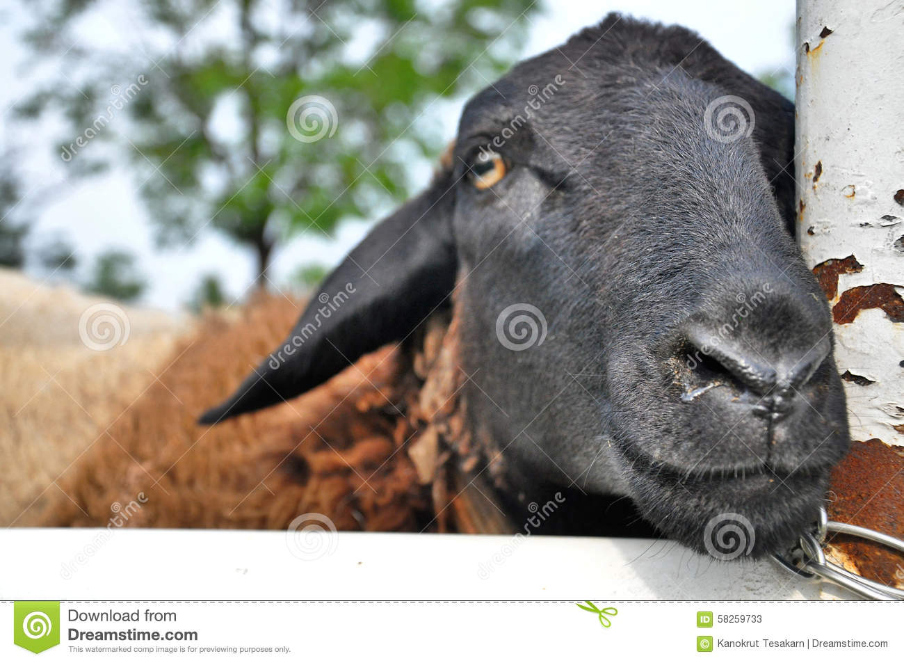 Wet nose sheep in a small farm stock image image 58259733 royalty free stock photo sciox Images