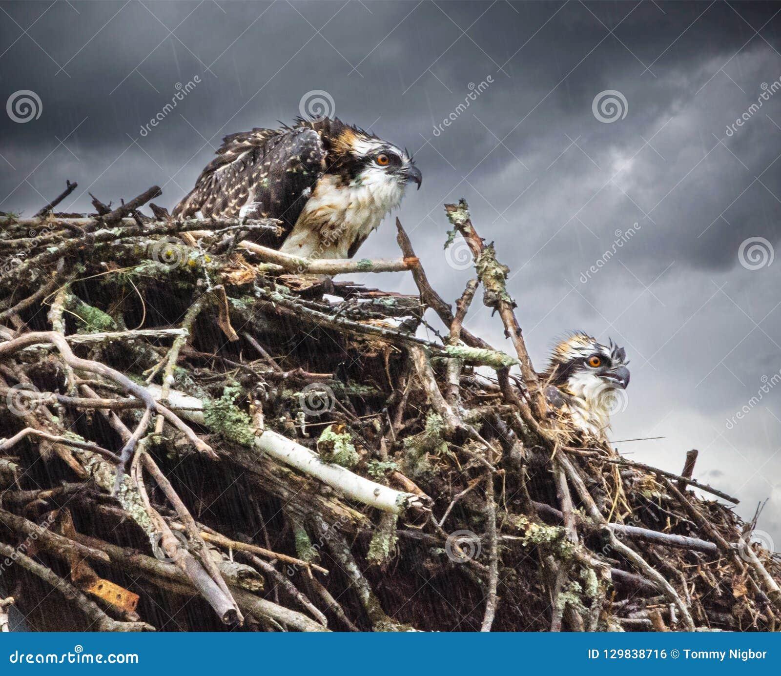 Wet Osprey chicks in Nest Wet rain in back ground looking unhappy