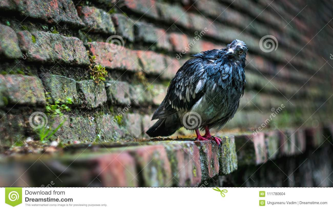 Wet pigeon sitting on a medieval wall