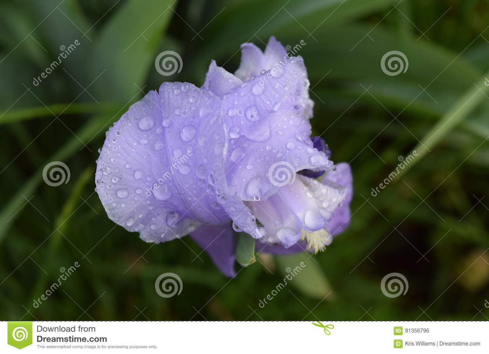 Wet Purple Iris