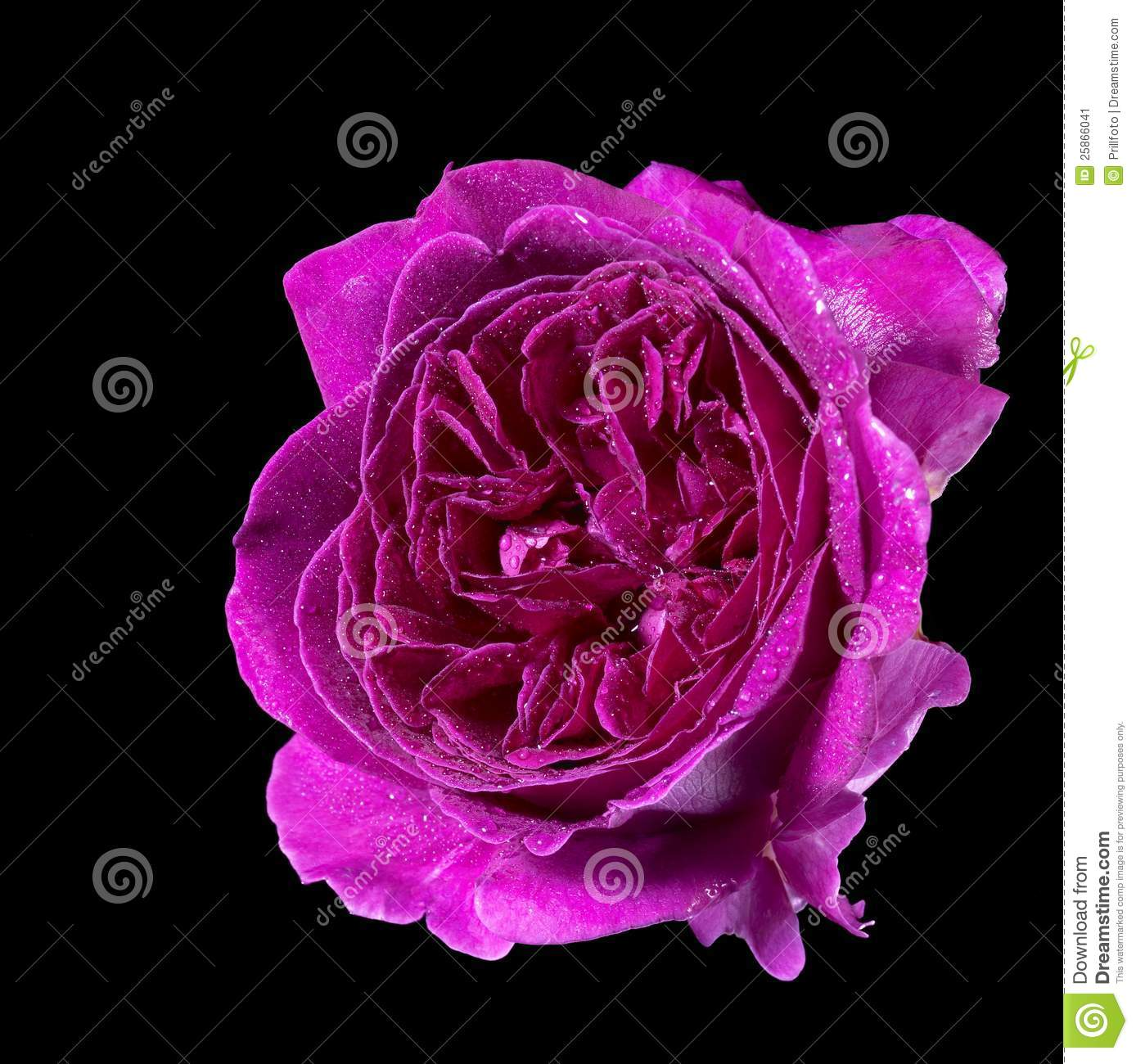Wet purple rose flower stock image. Image of perfection - 25866041