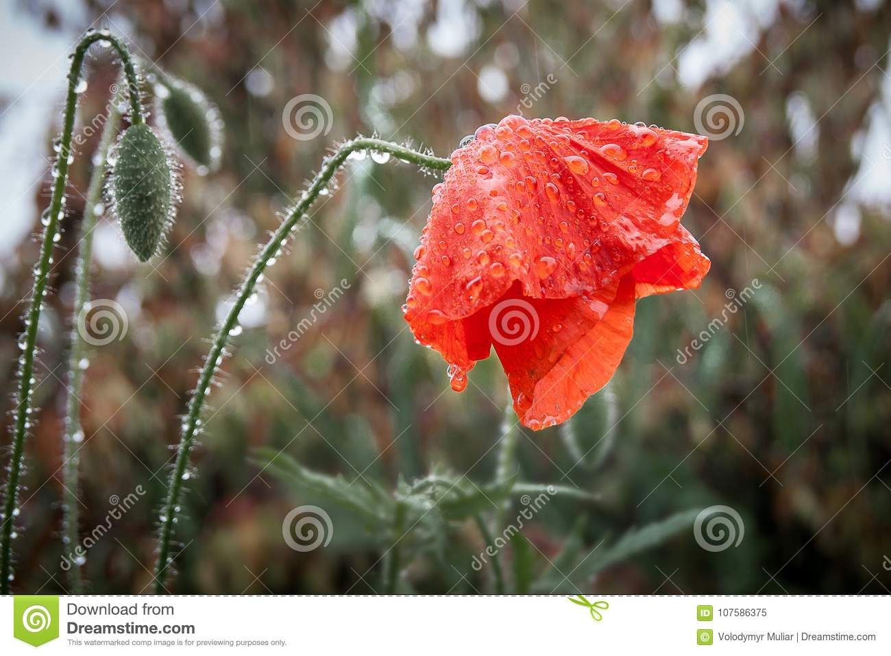 Wet from the rain poppy flower bowed the head symbolizes sadnes wet from the rain poppy flower bowed the head symbolizes sadnes mightylinksfo