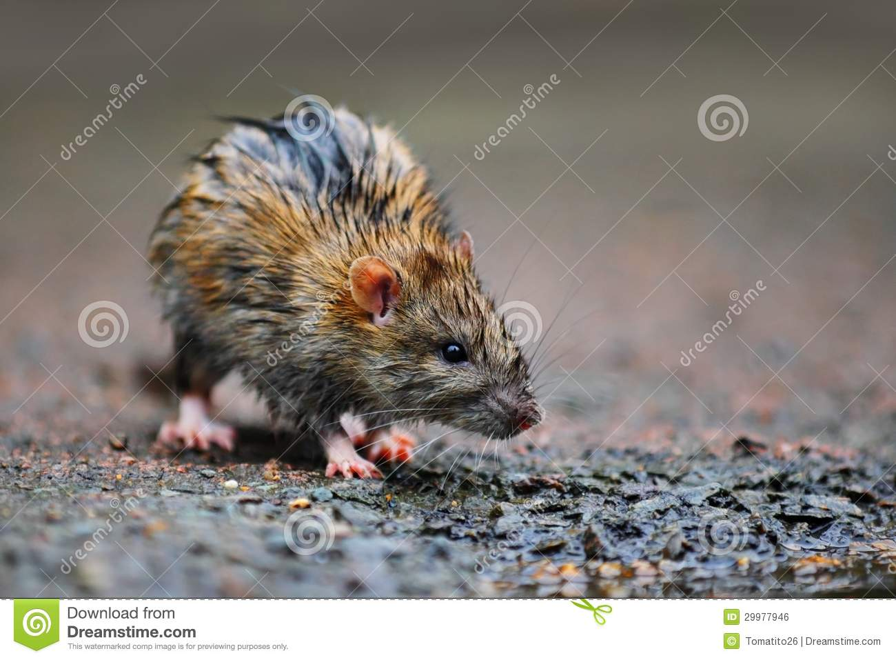 Wet Rat Royalty Free Stock Image Image 29977946