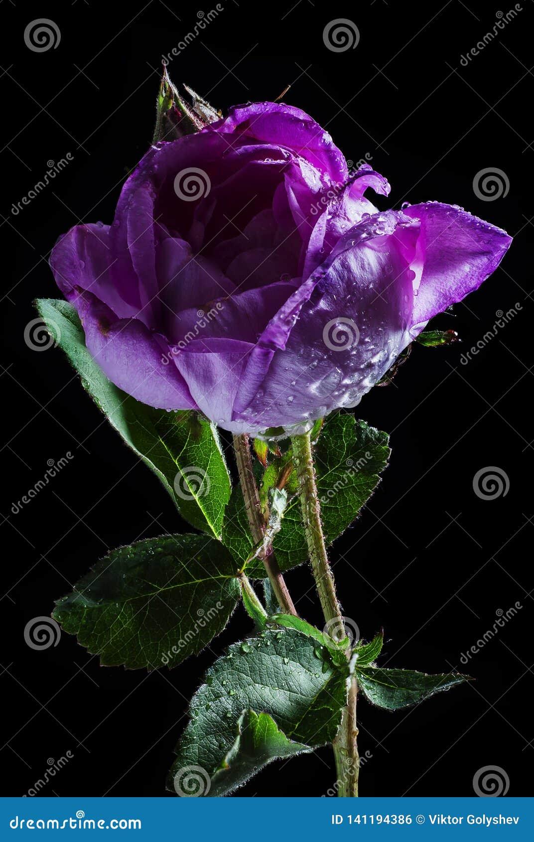 Wet rose flower on black